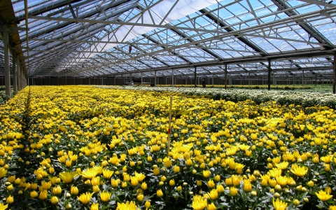 Westbrook Greenhouses. Photo of greenhouse of yellow flowers