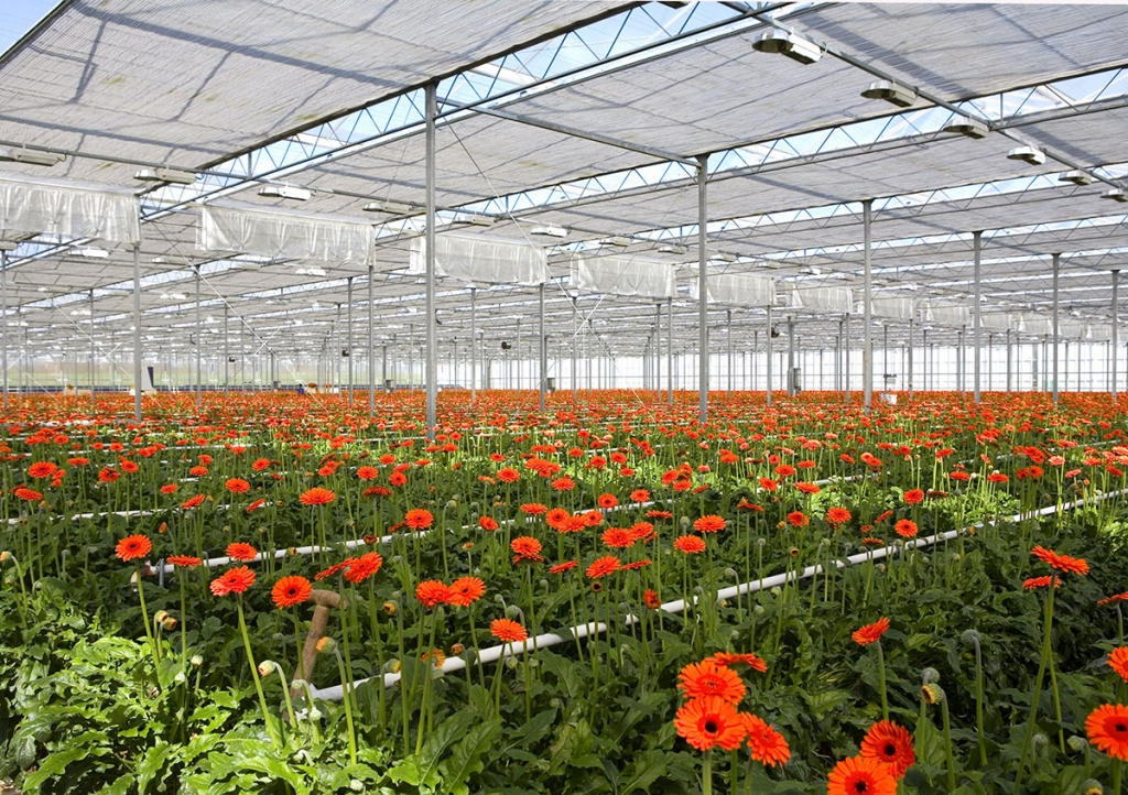 Greenhouse with gerberas