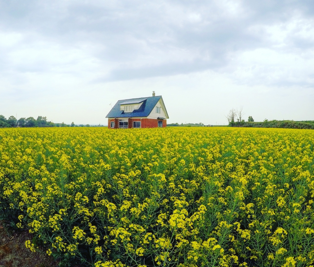 canola field with red house