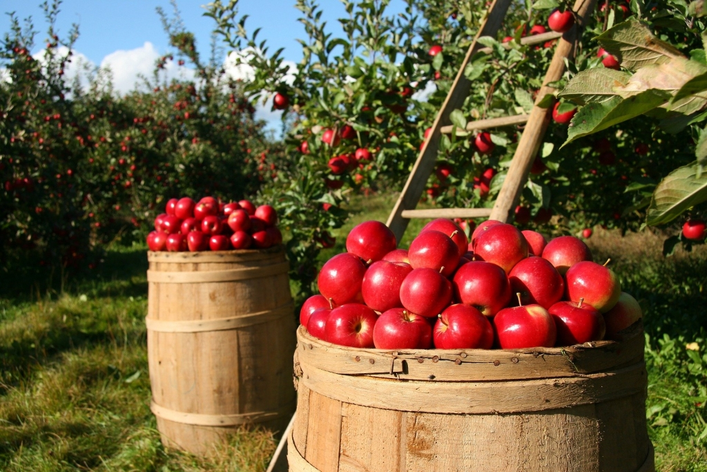 orchard with barrels of red apples and apple trees