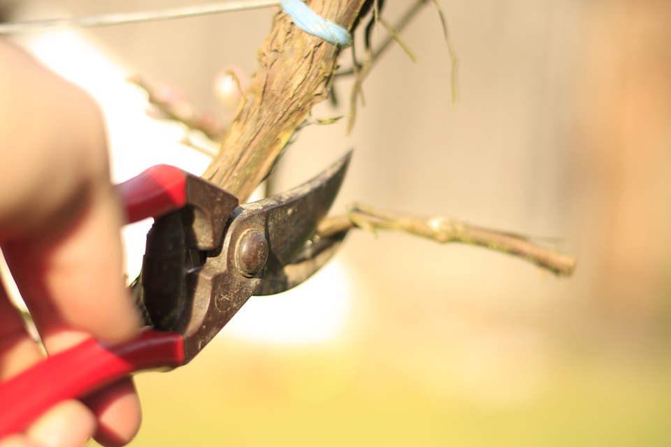 close up of a pair of red pruners, clipping vines
